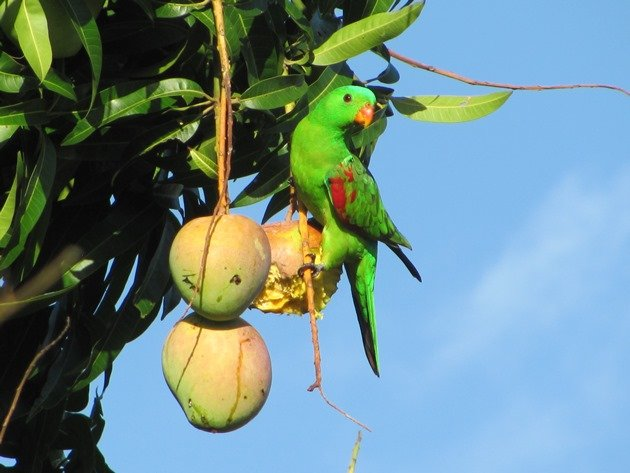Red-winged Parrot (3)