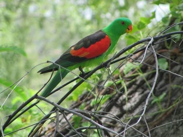 Red-winged Parrot (4)