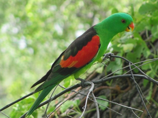 Red-winged Parrot (6)