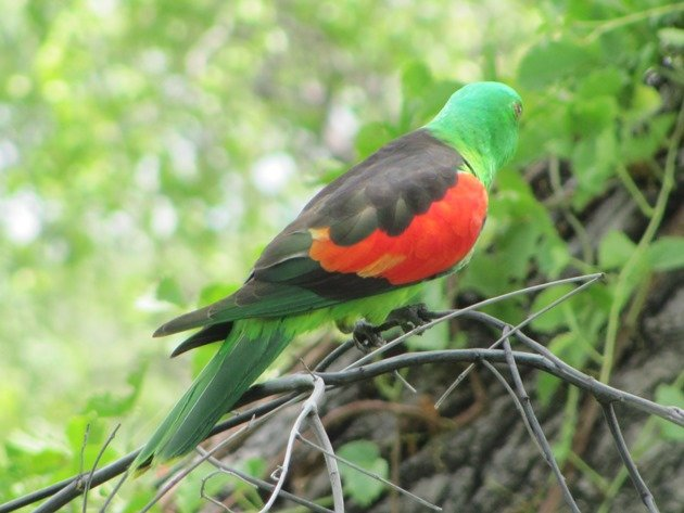 Red-winged Parrot (8)
