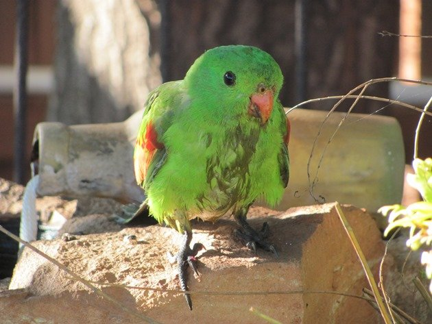 Red-winged Parrot (9)