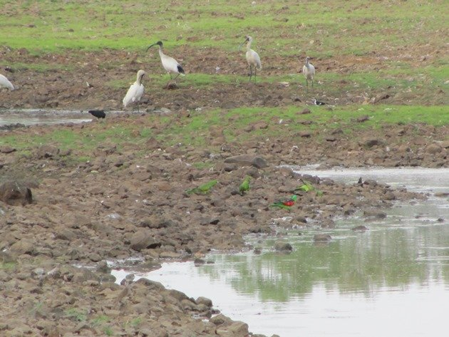 Red-winged parrots & Ibis & R Spoonbill