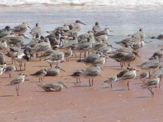 Reddell Beach shorebirds (10)