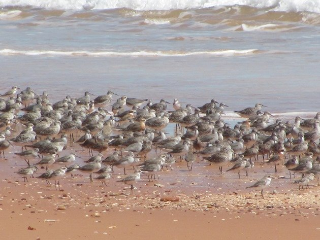 Reddell Beach shorebirds (5)