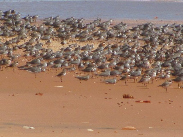 Reddell Beach shorebirds (8)