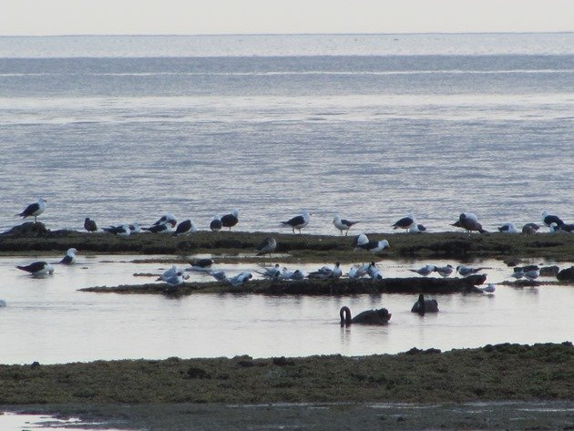 Ricketts Point birds at roost