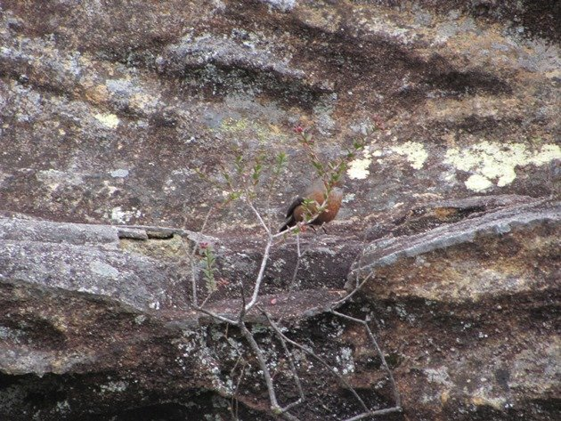 Rock Warbler (5)