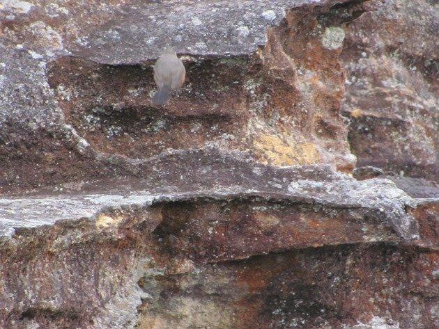 Rock Warbler (6)