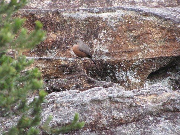 Rock Warbler (7)