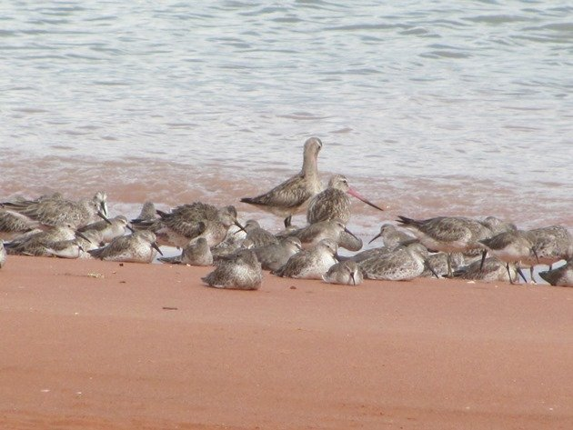 Roosting shorebirds (2)