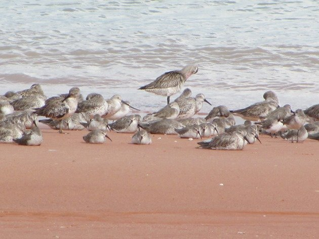 Roosting shorebirds (3)