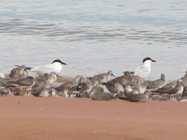 Roosting shorebirds (4)