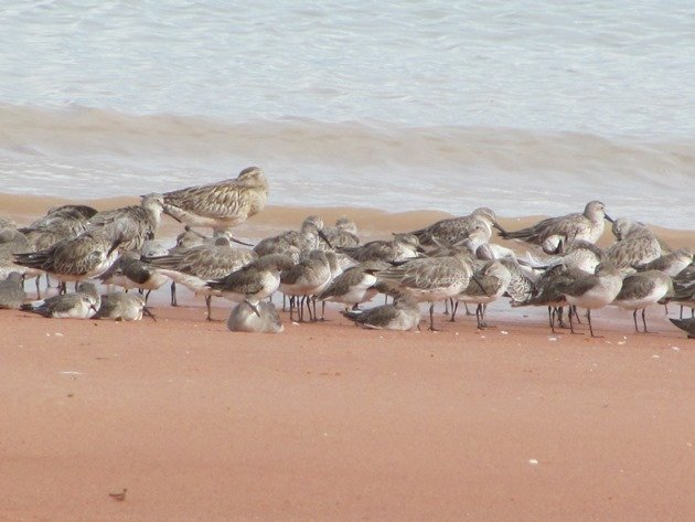 Roosting shorebirds (5)