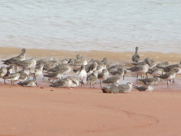 Roosting shorebirds (6)