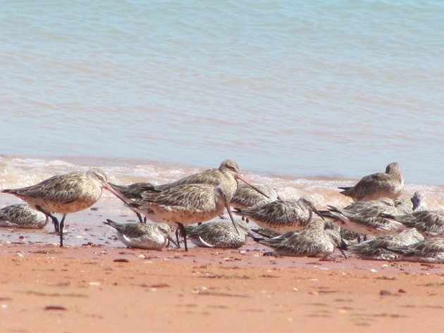 Roosting shorebirds