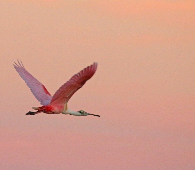 Roseate Spoonbill against a pink sky