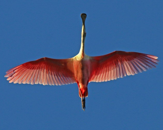 Roseate Spoonbill directly overhead