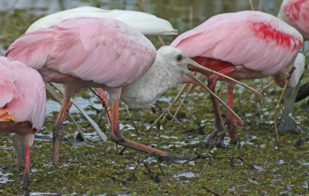 Roseate Spoonbill tossing food into its mouth