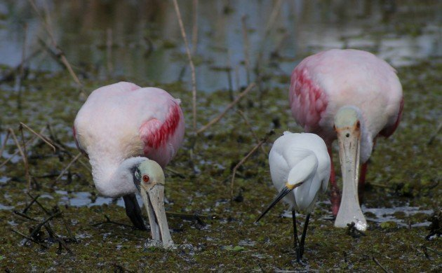 Roseate Spoonbills feeding with Snowy Egret