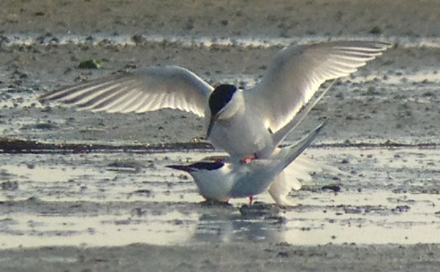 Roseate Terns making more Roseate Terns