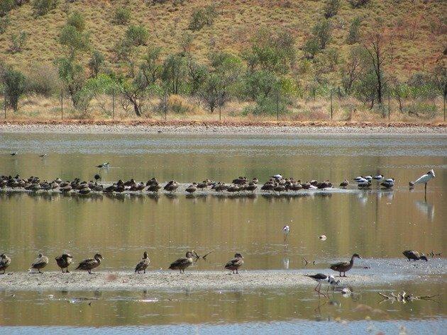 Royal Spoonbill & ducks