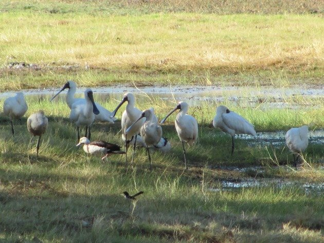 Royal Spoonbill,Radjah Shelduck and Willie Wagtail