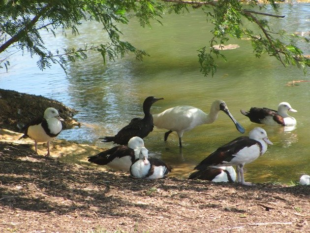 Royal Spoonbill,Radjah Shelducks & Little Black Cormorants
