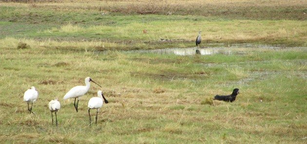 Royal Spoonbill,Red-tailed Black Cockatoo and White-necked Heron