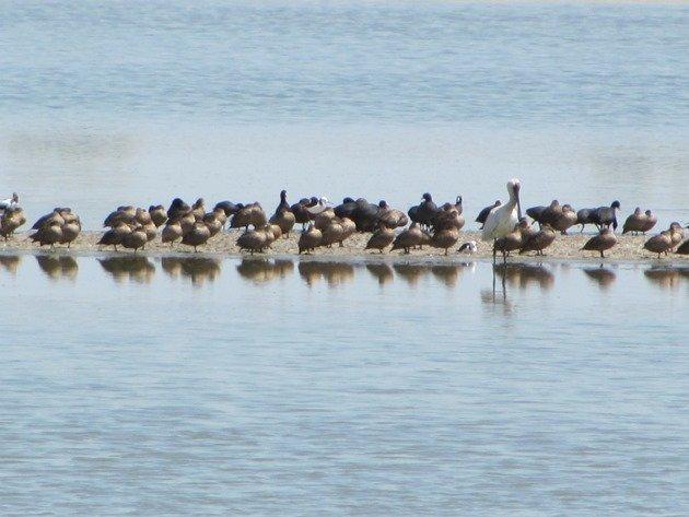 Royal Spoonbill,ducks & coots