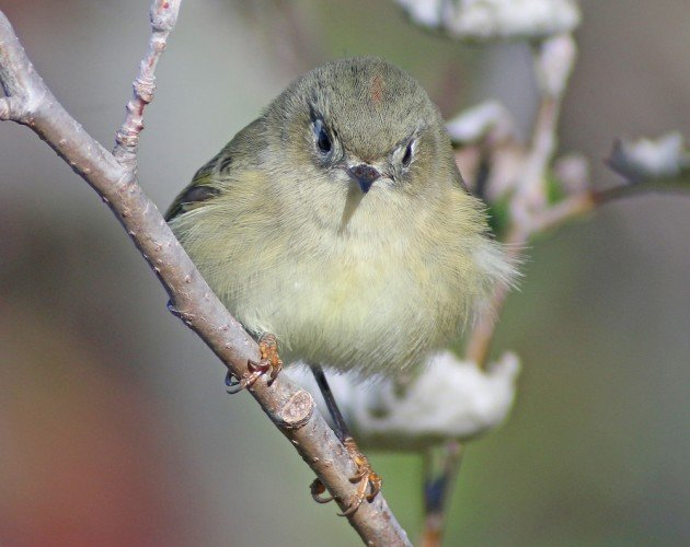 Ruby-crowned Kinglet in fall