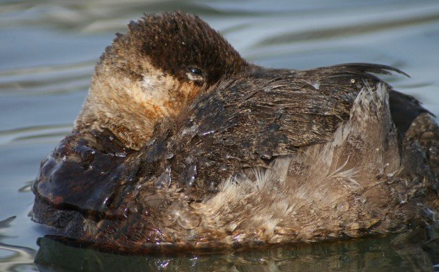 Ruddy Duck tucked up