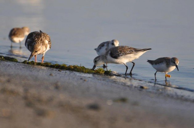 Ruddy Turnstone, Sanderlings and an a Semipalmated Sandpiper by Eveling Tavera