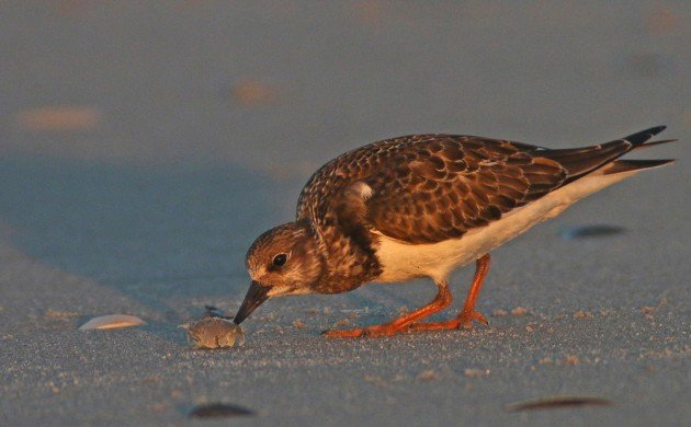 Ruddy Turnstone eating a Mole Crab