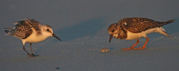 Ruddy Turnstone eating a Mole Crab with Sanderling looking on