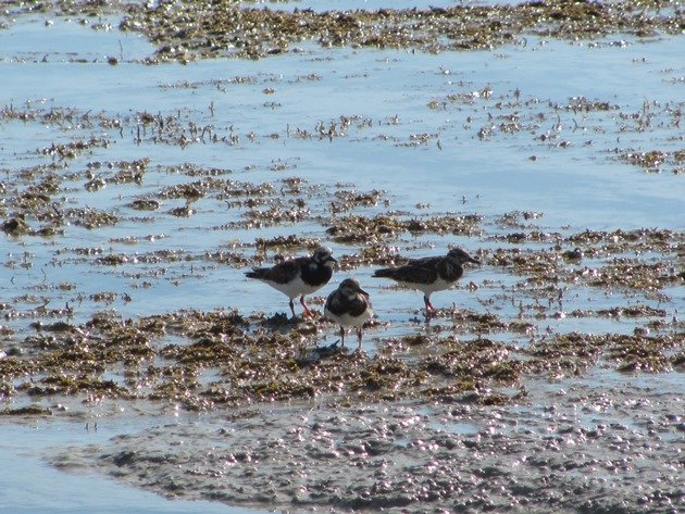 Ruddy Turnstones (2)