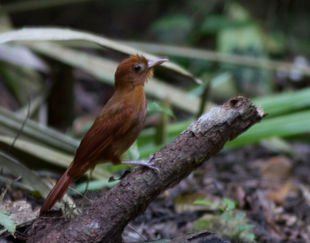 Ruddy Woodcreeper by Josh Beck