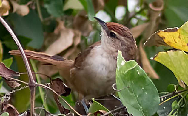 Rufous-capped Spinetail