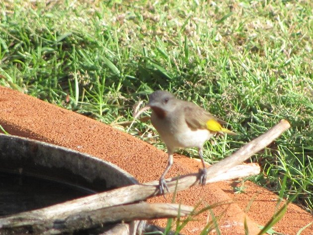 Rufous-throated Honeyeater (5)