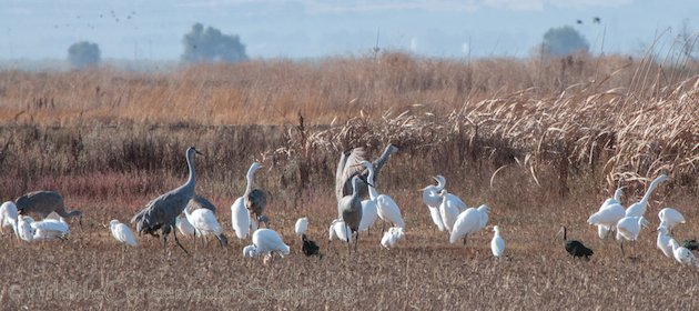 Sandhill Crane and Great Egret Standoff