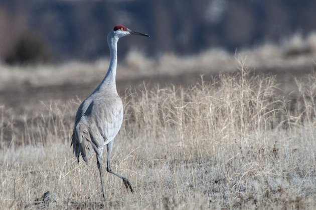 Sandhill Crane at Modoc NWR