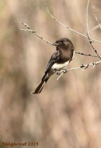 SAN 12Jan14 Black Phoebe 01