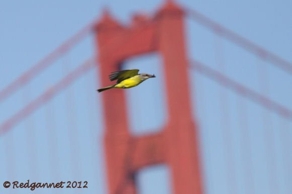 SFO 02Oct12 Tropical Kingbird 05