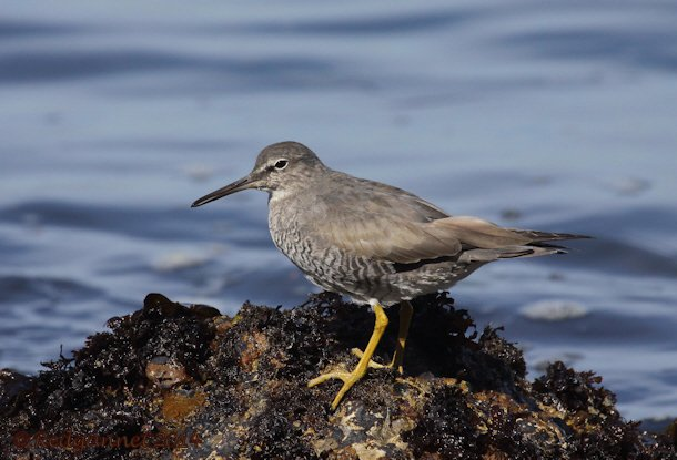 SFO 08Apr14 Wandering Tattler 03
