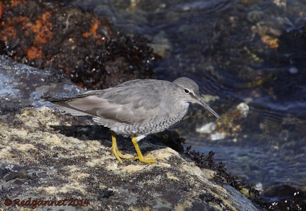 SFO 08Apr14 Wandering Tattler 06