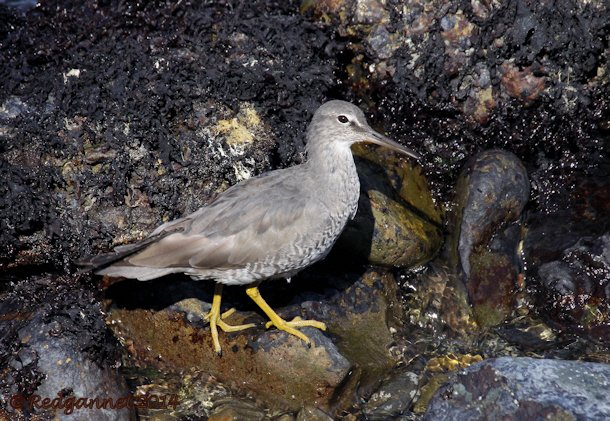 SFO 08Apr14 Wandering Tattler 12
