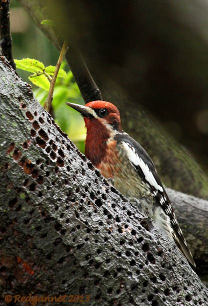 SFO 10Feb14 Red-breasted Sapsucker 03