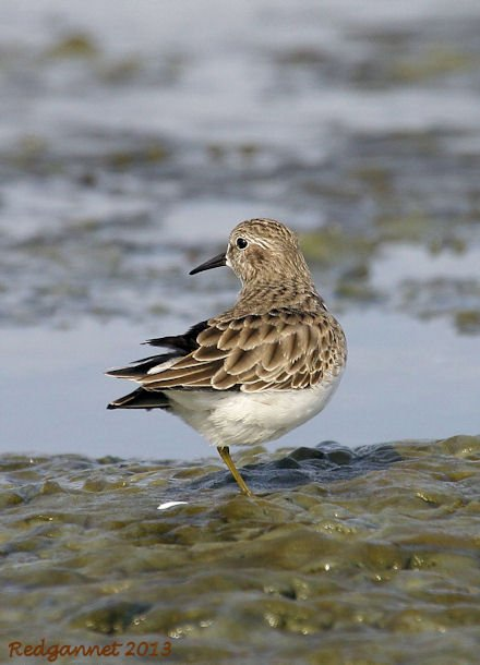 SFO 27Nov13 Least Sandpiper 09