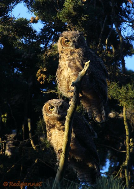 SFO 28Aug15 Great Horned Owl 01 - Copy