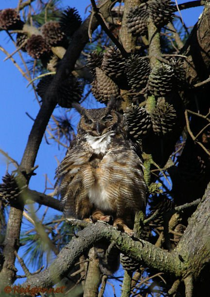 SFO 28Aug15 Great Horned Owl 02 - Copy
