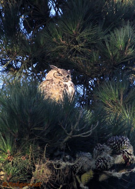 SFO 28Aug15 Great Horned Owl 05 - Copy
